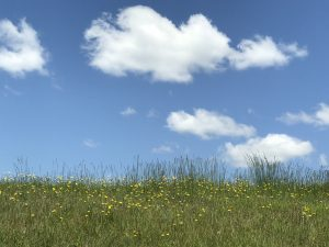 field of dandelions, clouds