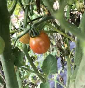 Almost ripe cherry tomato