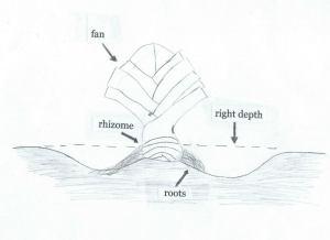 Iris planting diagram