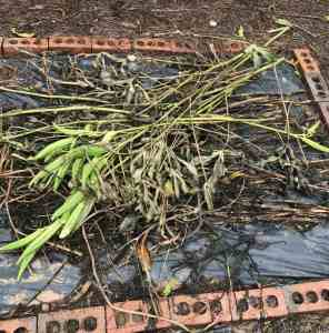 Okra debris that needs to be cleaned up for the winter.