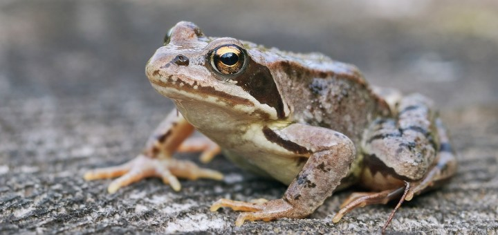 common frog in danger