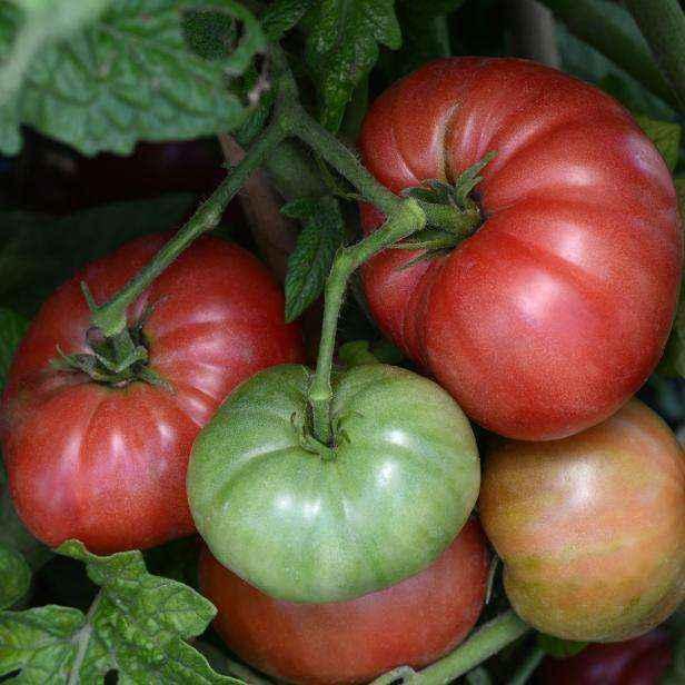 image1-57 | Как и зачем нужно обрезать помидоры