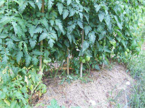 image3-52 | Как и зачем нужно обрезать помидоры