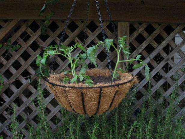 image3-54 | Как выращивать помидоры в кашпо