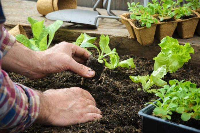 image2-21 | Как посадить и вырастить салат дома и на участке