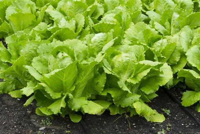 lettuce | Как посадить и вырастить салат дома и на участке