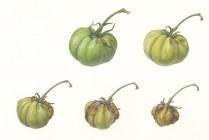 Tomato-life-span-2
