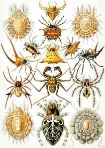 7-Haeckel_Arachnida