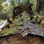 A Fallen Tree near Tyn y Groes, Coed y Brenin
