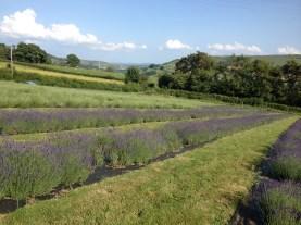 Wye Lavender