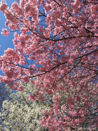 新宿御苑櫻花