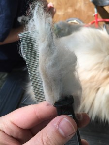 Wool Coming Off the Rabbit