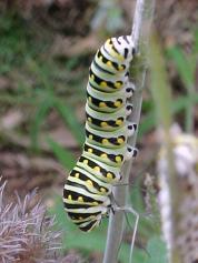 catterpillar3
