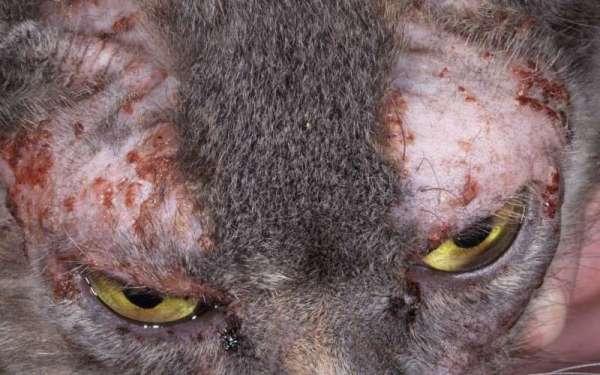 Дерматит у кошек фото лечение дома, сыпь у кота на животе