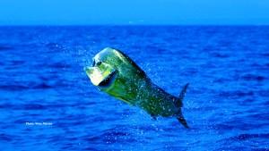 mahi mahi, dolphinfish, dorado, dolphin