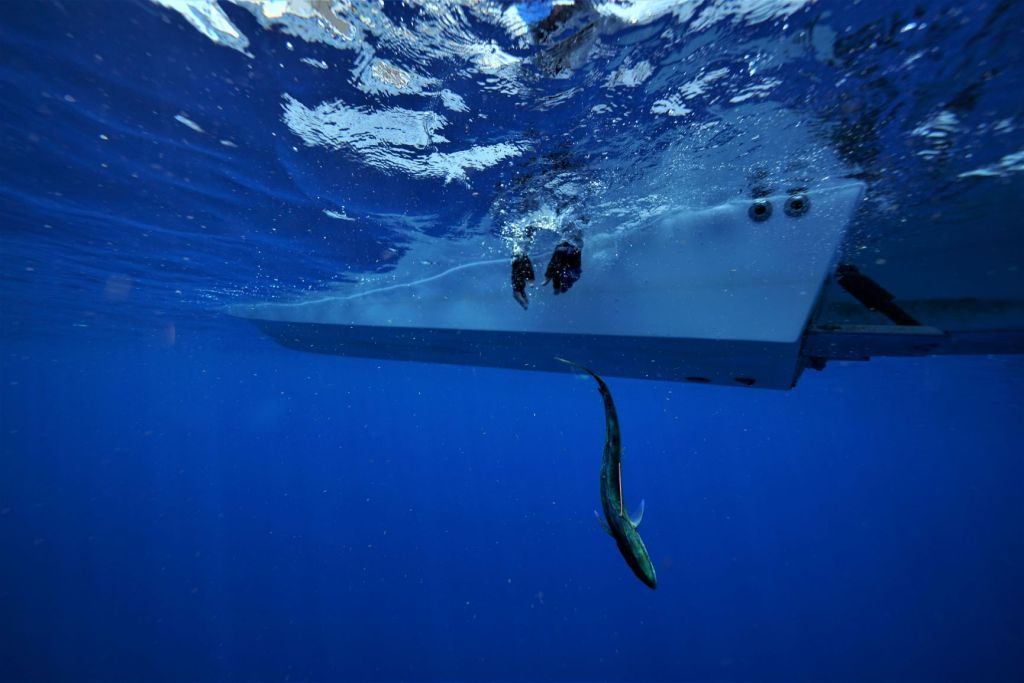 Dolphinfish Research Program tag and release