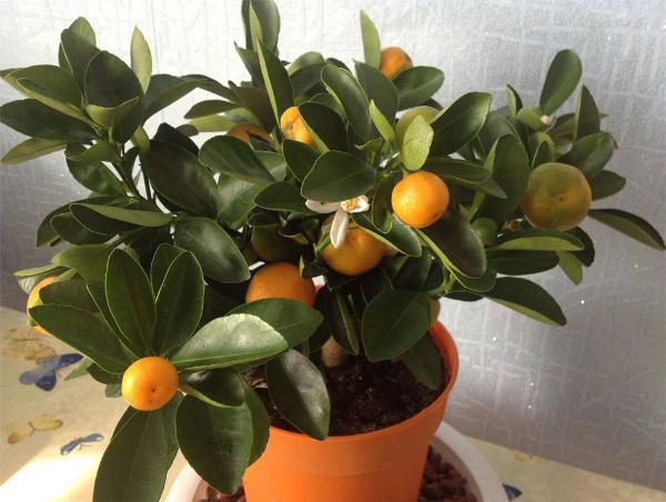 Quando il mandarino inizia a frugare?