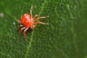 Красный паутинный кдещ