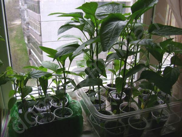Dacă temperatura ambiantă nu scade în seră sau pe pervazul ferestrei, intensitatea respirației nu este redusă, intensitatea respirației nu este redusă, dar consumul sporit de materiale organice acumulate sub lumină (amidon, glucoză etc.). Plantele slăbesc, răsadurile se întoarce bolnav.