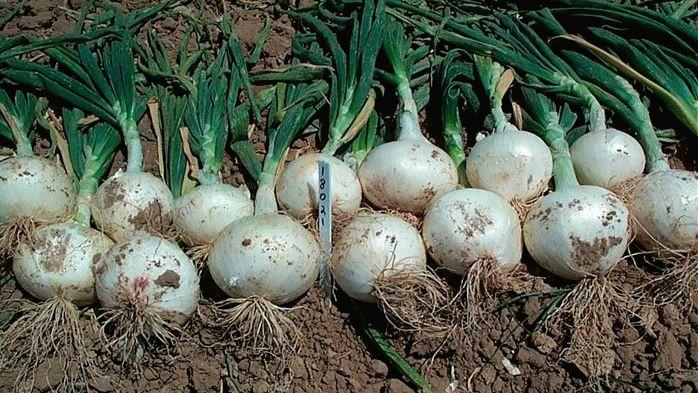 Белый лук разновидности сортов польза и вред как правильно хранить