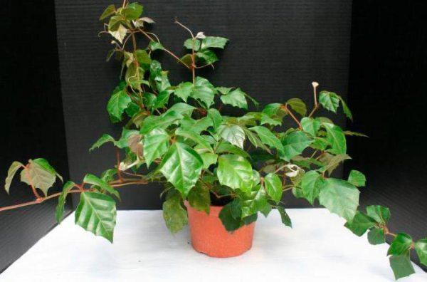 Комнатное растение берёзка (роициссус): фото, уход в ...