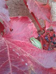 Photos - Feuilles de vigne du Viala