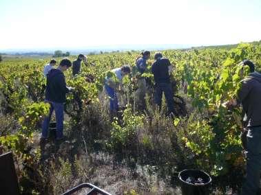 Photos - En pleine vendange, vigne du Viala