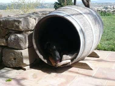 Photos - Un chien dans un tonneau - Domaine du Viala