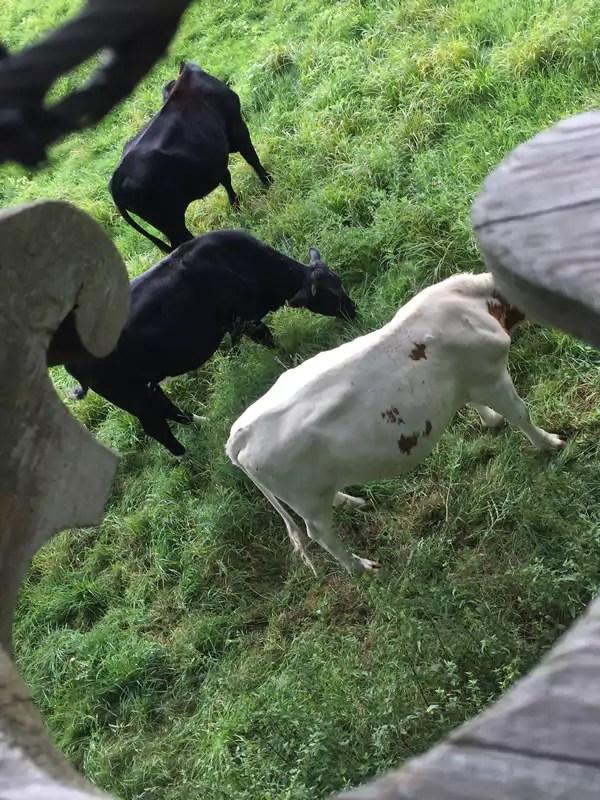cabane-vache