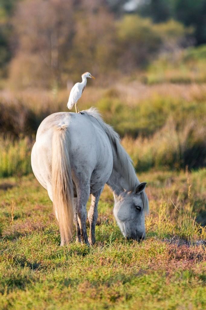 cattle egret, white horse, move
