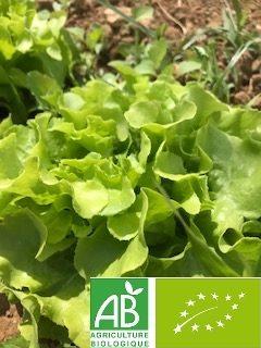 Salade verte bio