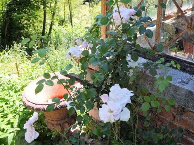 Roses Frank Orangery