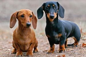 Кроличья такса: как выглядит взрослая собака на фото ...