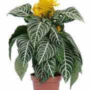 купить цветущее растение минск