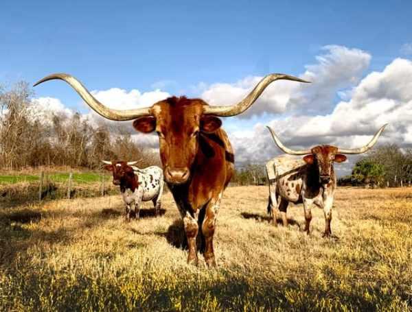 Drie grote stieren
