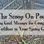 The Scoop on Goat Poop – Using Goat Manure for Compost and Fertilizer in Your Spring Garden