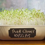 How to Grow Red Clover Sprouts in Just Ten Days
