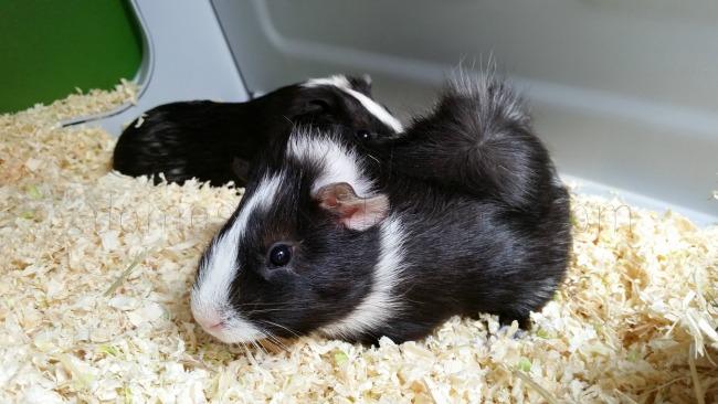 Widget the Guinea Pig
