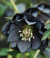 black onyx hellebore