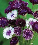 Burgandy Beauties cornflowers