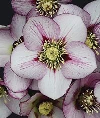 french kiss hellebore