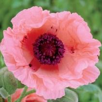 helen elizabeth poppy