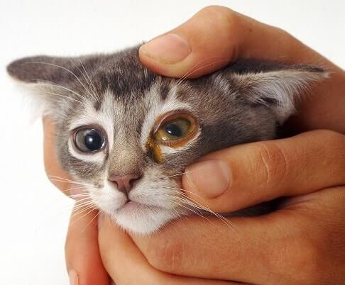 Почему гноятся глаза у кошки