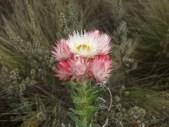 Flower on the flank of Kilimanjaro