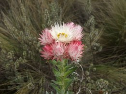 Flower on the flank of Kilimanjaro
