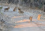 Lion cubs left alone to play (or survive)