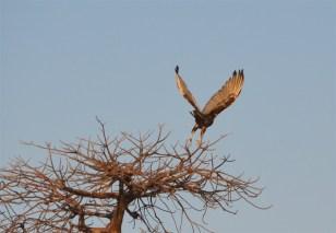 Eagle flying off