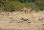 Impala in action