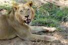 Close encounter with battered male lion