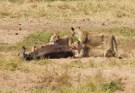 Fresh lion kill (buffalo)